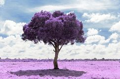 Purple acacia tree in savanna with infrared effect stock photos
