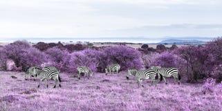Zebras grazing in purple african savannah. Fantasy, nature and wildlife concept - herd of zebras grazing in maasai mara national reserve savannah in africa royalty free stock photo