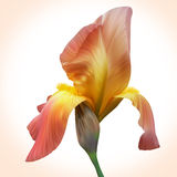 Fantasy Orange Iris for design of posters, banner, birthday card Royalty Free Stock Photo