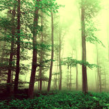 Fantasy yellow green foggy beech tree forest Royalty Free Stock Image