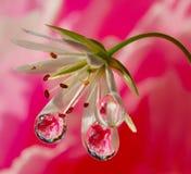 Fantazja kwiaty i krople Obrazy Royalty Free