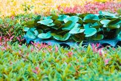 Fantazja liścia lotosu i liścia kolec kwitnie w sping sumer obraz royalty free