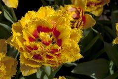 Fantazja tulipan Obrazy Royalty Free