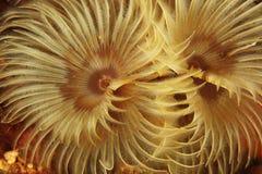 Fanworm - Baai van Brest, Britanny, Frankrijk Stock Foto