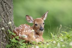 faon Blanc-coupé la queue de cerfs communs dans Poughkeepsie, NY images stock
