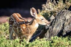 faon Blanc-coupé la queue de cerfs communs dans Poughkeepsie, NY Photographie stock libre de droits