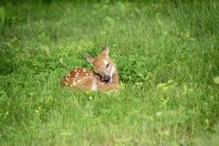 faon Blanc-coupé la queue de cerfs communs dans Poughkeepsie, NY Photo stock
