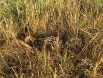 Faon caché dans l'herbe photos stock