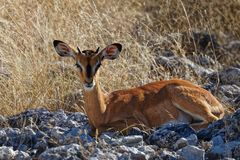 Faon d'impala regardant directement l'appareil-photo images libres de droits