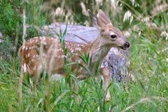 Faon dans l'herbe Image stock