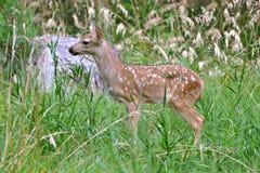 Faon dans l'herbe Photo stock