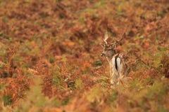 Faon de cerfs communs affrichés photographie stock
