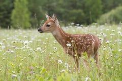 Faon de cerfs communs coupé la queue par blanc semblant vigilant Images stock