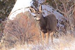 Faon de cerfs communs de mule photo libre de droits