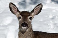 Faon de cerfs communs de mule dans la neige Image libre de droits