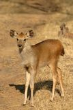 Faon de cerfs communs de Sambar Images libres de droits