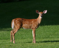 Faon de cerfs communs de Whitetail photo stock