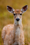 Faon de cerfs communs de Whitetailed Images libres de droits