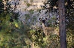 Faon de cerfs communs de Whitetailed, bois de flottage le Texas photographie stock libre de droits