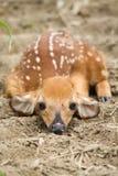 Faon de cerfs de Virginie images libres de droits
