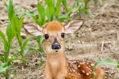 Faon de cerfs de Virginie image stock