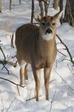 Faon de cerfs de Virginie de bébé dans la neige Photographie stock libre de droits