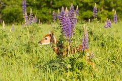 Faon de Whitetail se cachant derrière les fleurs de loup photographie stock libre de droits
