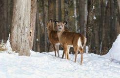 Faon deux dans la forêt pendant l'hiver Photo stock