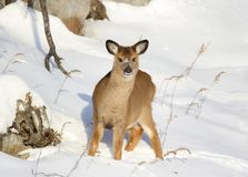 Faon en nature pendant l'hiver Images stock