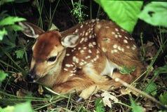 Faon enfoncé de cerfs de Virginie Photos libres de droits