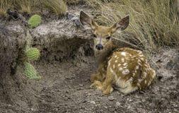 Faon et cactus en parc national de bad-lands Photos stock