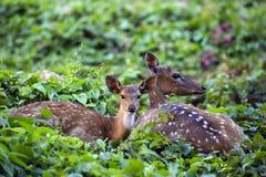 Faon mignon se reposant avec des cerfs communs de mère Photographie stock