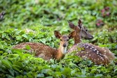 Faon mignon se reposant avec des cerfs communs de mère Photo stock