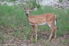 Faon principal mis en danger de cerfs communs photos stock