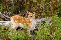Faon repéré de Whitetail dans la forêt Photo stock