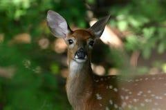 Faon suivi blanc de cerfs communs Photographie stock