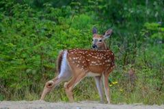 Faon vigilant de cerfs communs de queue blanche Photographie stock libre de droits