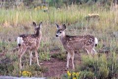 Faons de cerfs communs de mule Photographie stock