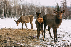 Faons, jeunes cerfs communs rouge-brun et mère en hiver Photographie stock