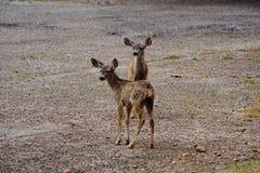 Faons jumeaux de cerfs communs de mule Image stock