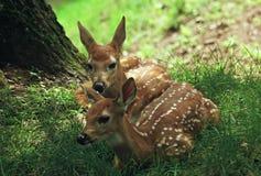 Faons repérés de cerfs communs - le Wisconsin Photographie stock libre de droits