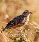 The Fappet Lark. The Flappet Lark (Mirafra rufocinnamomea) dwells mainly on the ground, this specimen perches on a short bush Stock Images