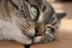 Far Away Eyes. Close-up portrait of a tiger cat with dreamy eyes Royalty Free Stock Photo