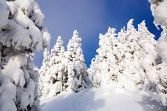 Far away in the high mountains covered with white snow stand few green trees in the magical snowflakes. Stock Photo