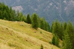 Far in the distance you can see a family picking berries. Austrian people picking wild berries in the Alps of Austria stock photo