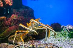 The far East crab. The marine animals and other inhabitants of the seas and oceans Stock Photography