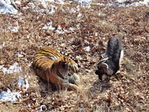 Far east, Russia, the Amur tiger made friends with served to him for dinner a goat and a few days living with stock photo