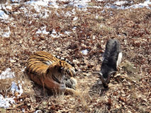 Far east, Russia, the Amur tiger made friends with served to him for dinner a goat and a few days living with Royalty Free Stock Photography