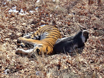 Far east, Russia, the Amur tiger made friends with served to him for dinner a goat and a few days living with Royalty Free Stock Photo