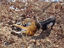 Far east, Russia, the Amur tiger made friends with served to him for dinner a goat and a few days living with Stock Image